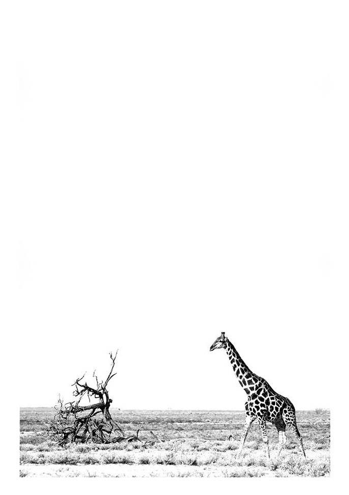 Giraffe (Black & White)