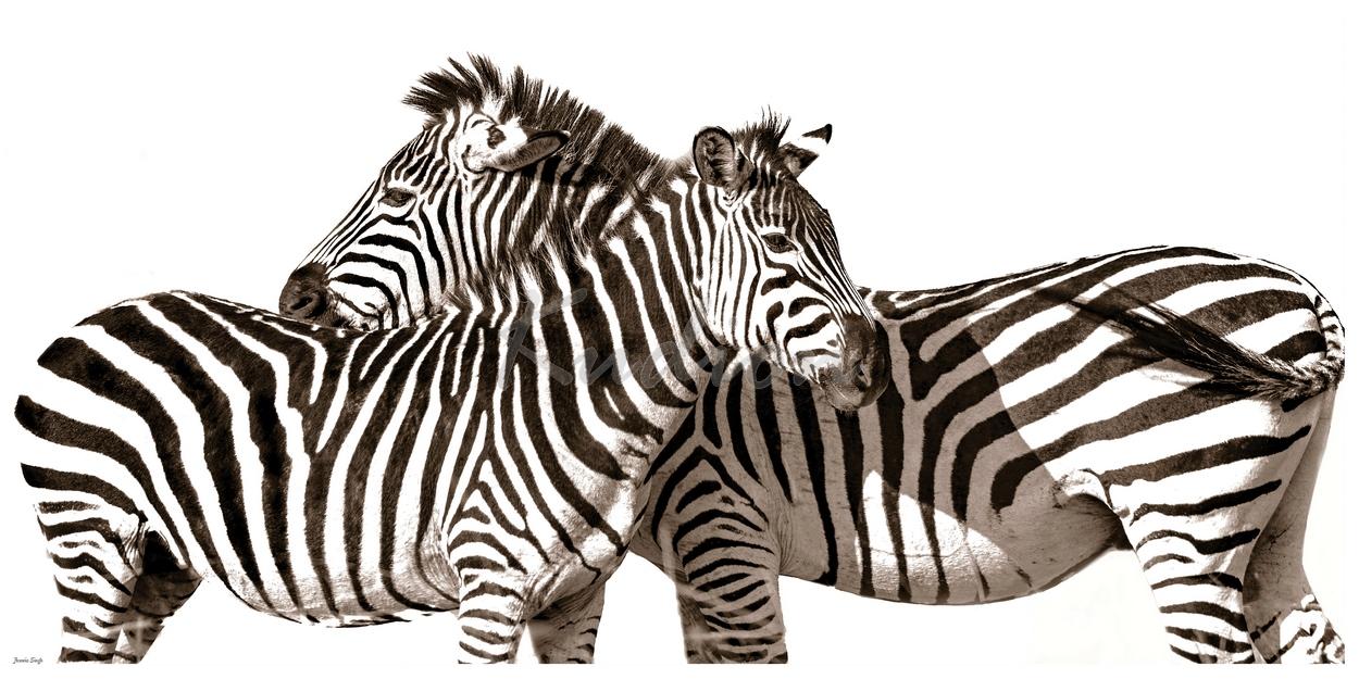 Verliebte Zebras