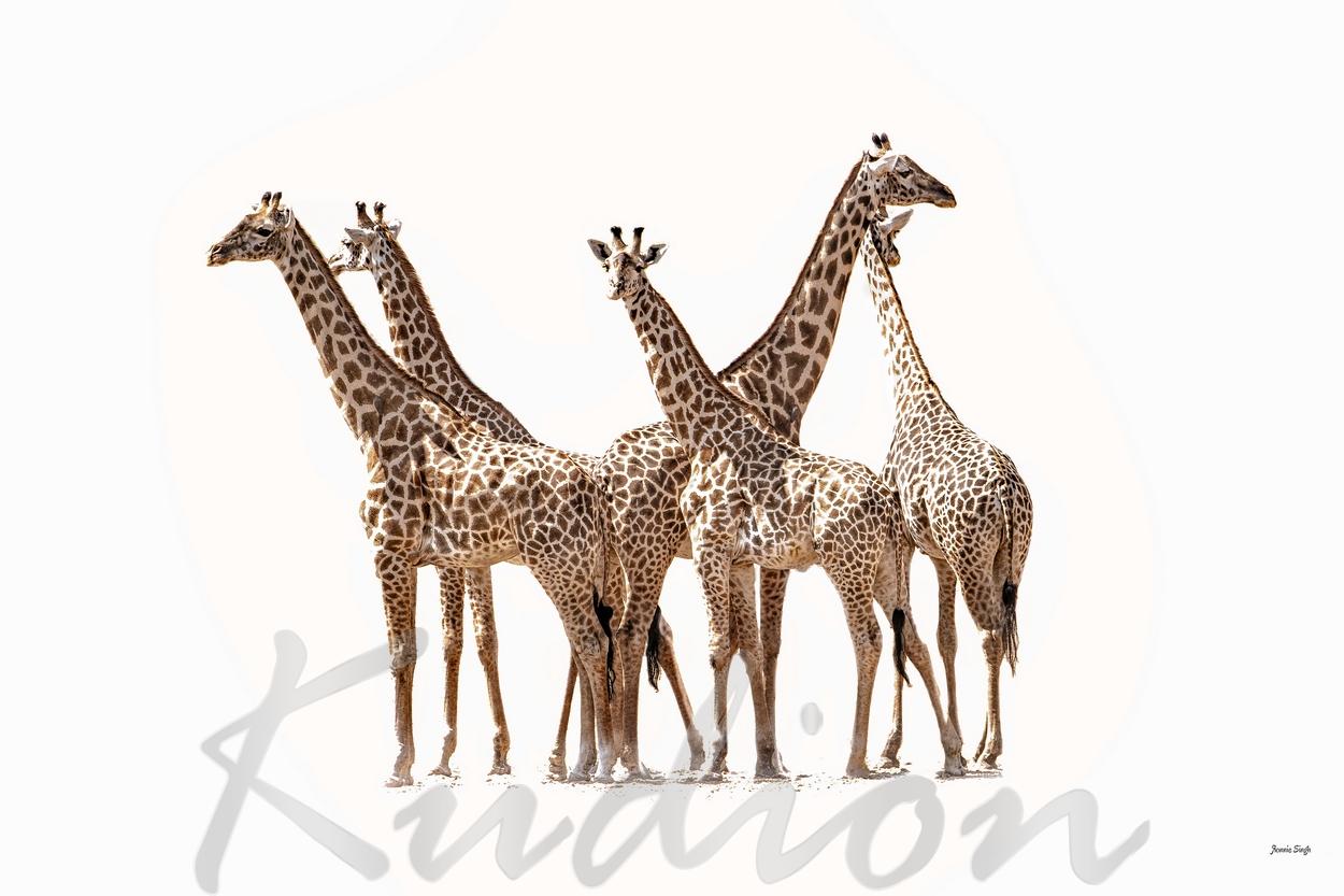 Die Versammlung der Giraffen