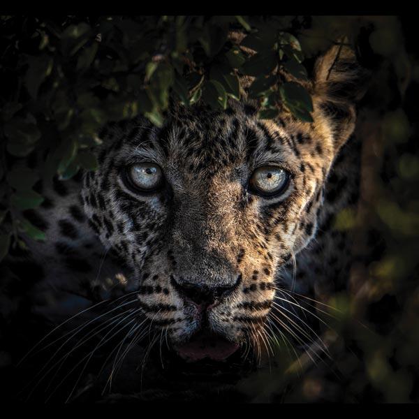 Leopard Wandbild Druck