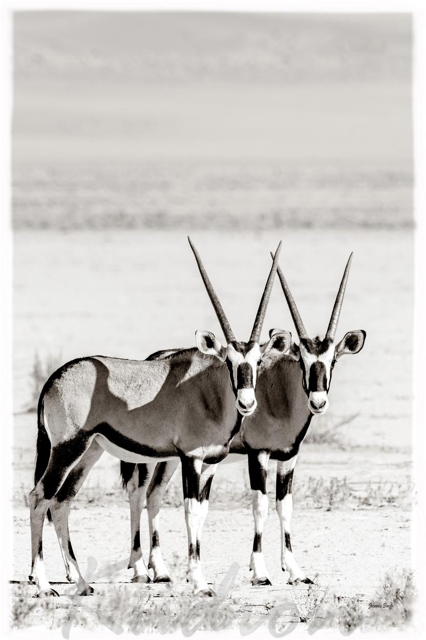 Die Oryx Brüder - Kupfer Edition