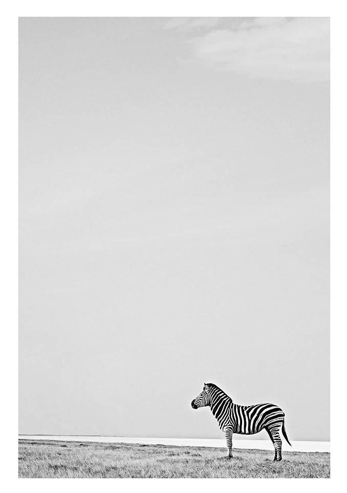 Zebra (Black & White)