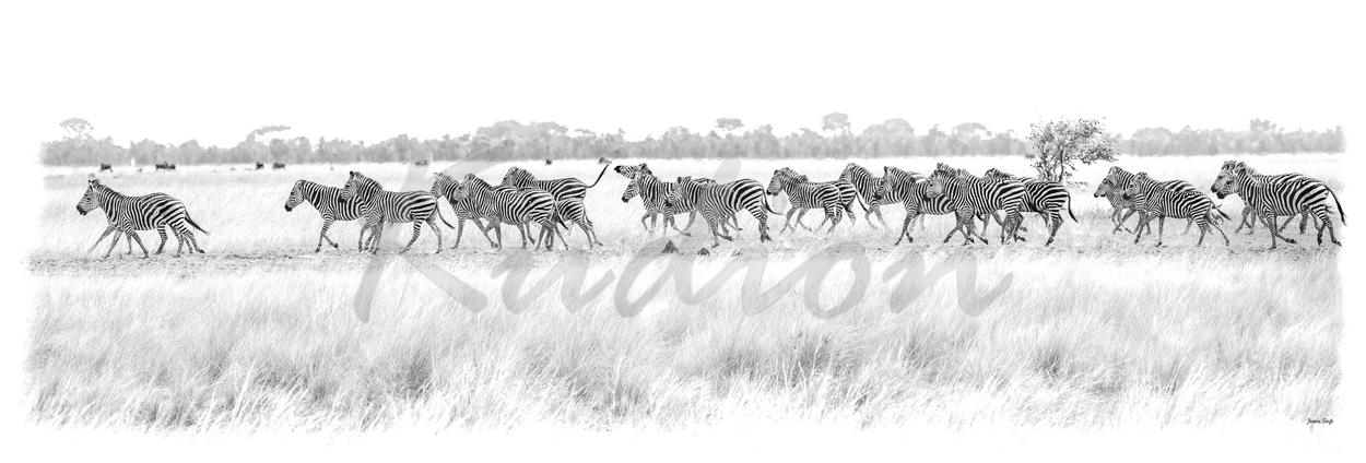 Die Wilden Zebras von Sambia